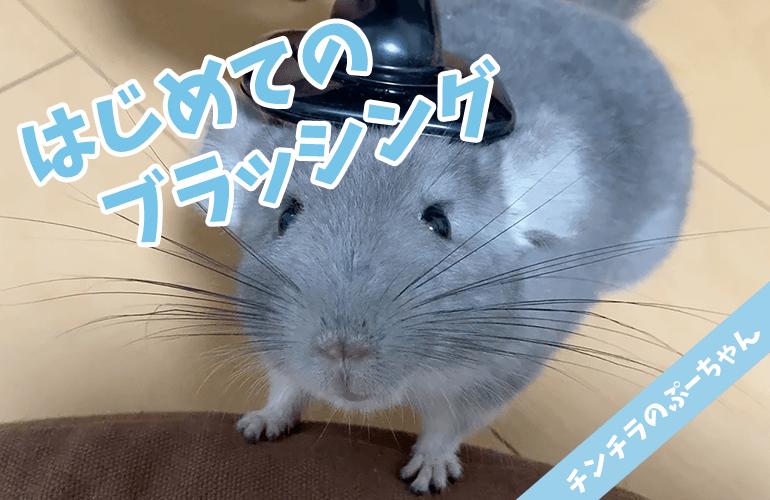 【チンチラ】はじめてのブラッシング!ぷーちゃんが鳴いた!【chinchilla】