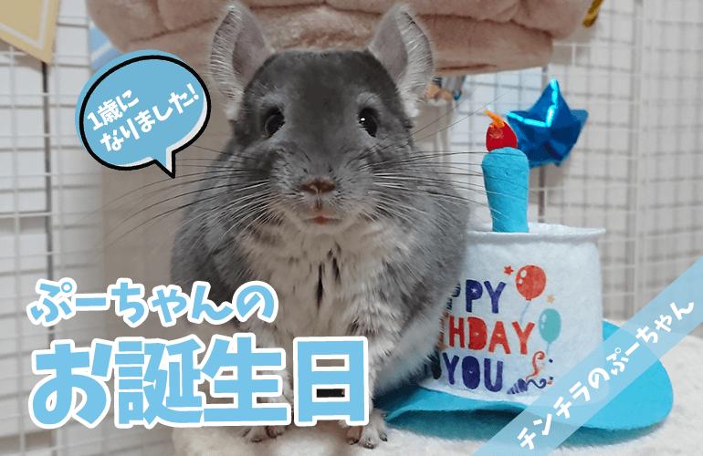 【チンチラ】ぷーちゃん1歳のお誕生日!プレゼントに大興奮!