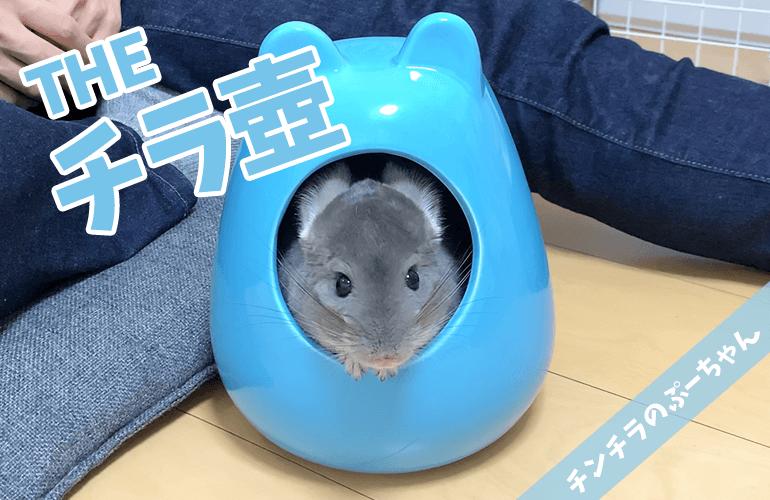 【チンチラ】チラ壺から顔を出すぷーちゃんが可愛すぎる!