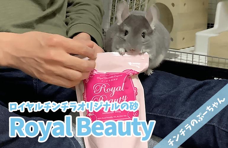 【チンチラ】ロイヤルチンチラオリジナル砂「Royal Beauty」に砂浴び大好きぷーちゃんも大興奮!