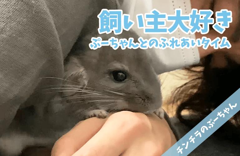【チンチラ】飼い主大好き!べったり甘えん坊なチンチラとのまったり癒しタイム!