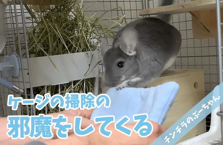 【チンチラ】ひたすら掃除の邪魔をしてくるぷーちゃんが可愛い!