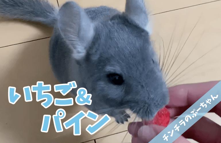 【チンチラ】はじめてのフリーズドライ!ぷーちゃんに「イチゴ&パイン」をあげてみた!