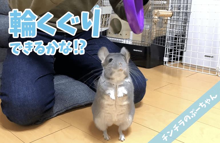 【チンチラ】ぷーちゃんが新しい芸に初挑戦!輪くぐりできるかな!?