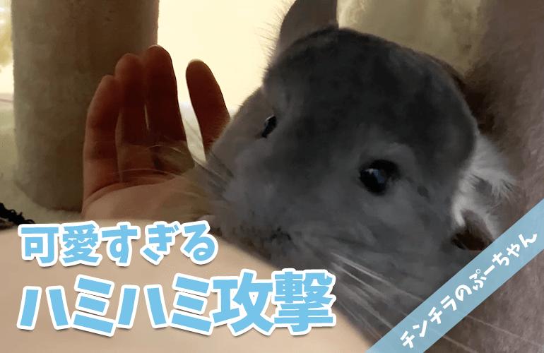 【チンチラ】なつくとこうなる!?ぷーちゃんのハミハミ攻撃!