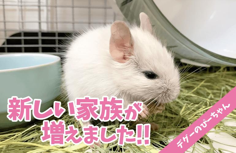 【ご報告】新しい家族が増えました!可愛すぎるホワイトデグーの赤ちゃん!