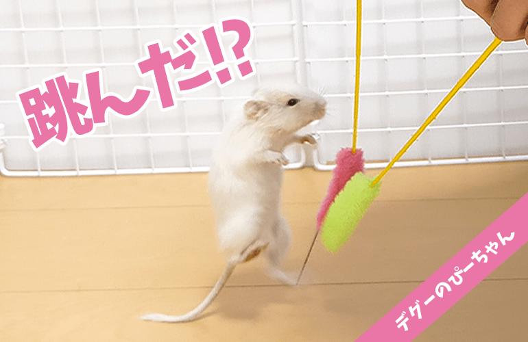 【デグー】はじめての猫じゃらしに興奮しすぎて飛び跳ねるデグーが可愛すぎるw