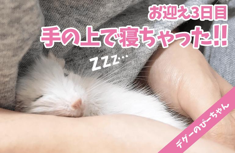 【デグー】手で寝ちゃった!甘えん坊すぎるホワイトデグーのぴーちゃんが可愛すぎる!