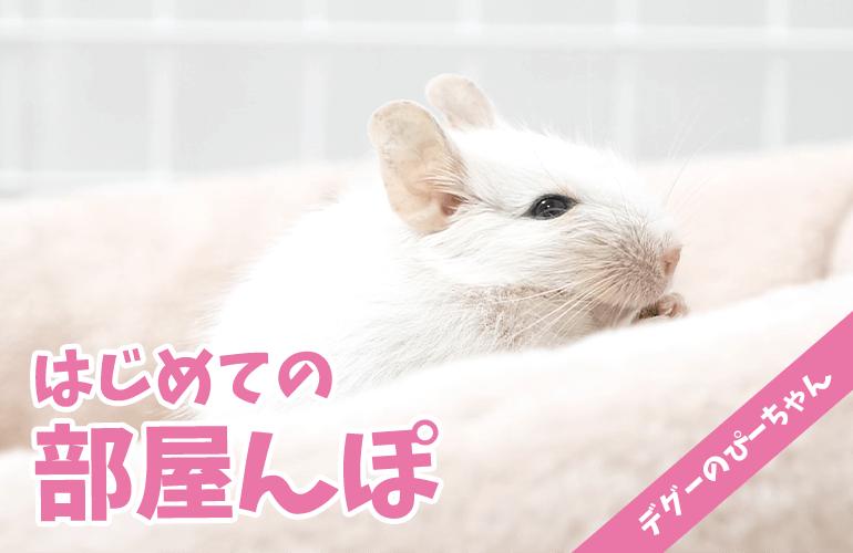 【デグー】はじめての部屋んぽに大喜びのホワイトデグーのぴーちゃんが可愛すぎる!
