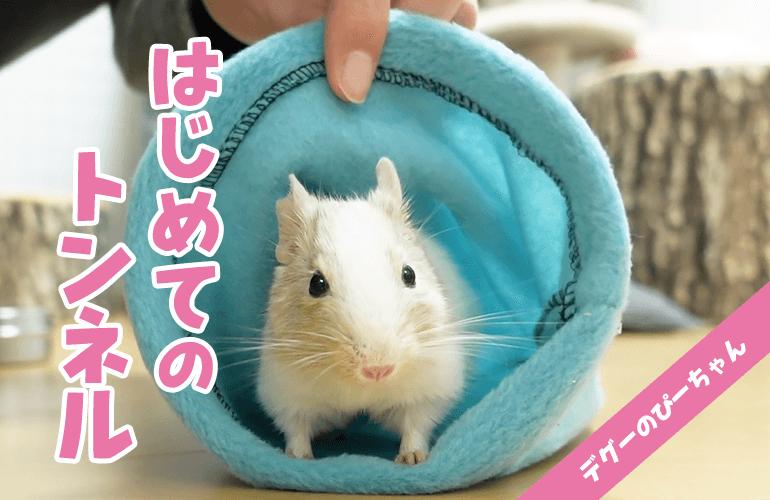 【可愛い】はじめてトンネルを見たデグーの反応がこちら!