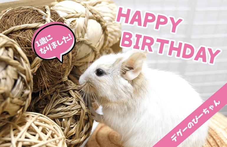 【祝1歳】デグーのぴーちゃん1歳のお誕生日!たくさんのプレゼントに囲まれて大喜び!