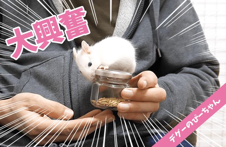 【デグー】大興奮!デグーを虜にする「えん麦」に夢中なぴーちゃんが可愛い!