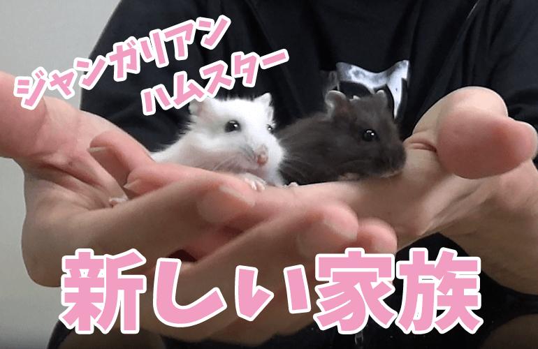 【ハムスター】新しい家族!白と黒の2匹のジャンガリアンハムスター!