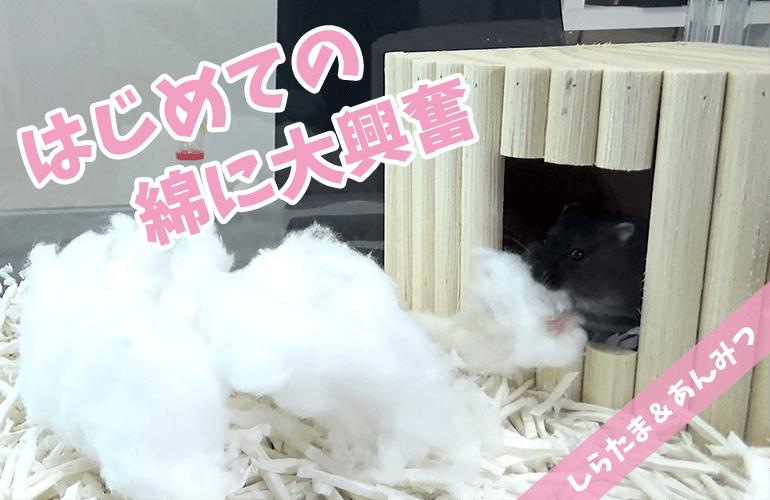 【ハムスター】はじめての綿のお布団にまさかのあんみつ大興奮!!
