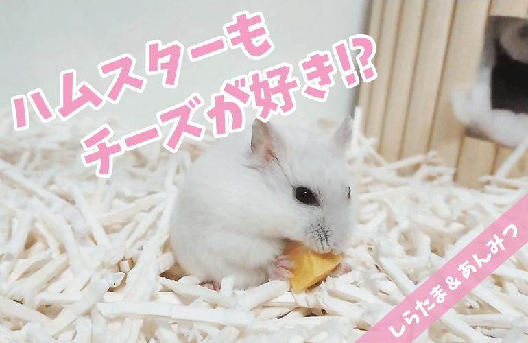 【ハムスター】ハムスターもチーズが好き!?