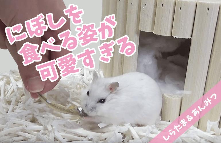 【ハムスター】にぼしを食べる姿が可愛すぎる!