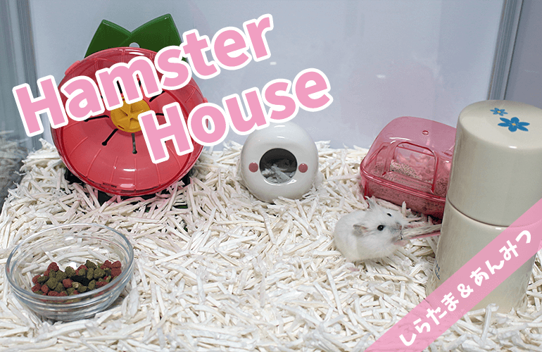 【ハムスター】しらたまとあんみつ新しいお家が完成しました!