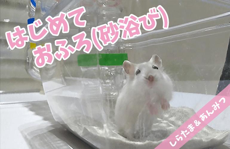 【ハムスター】はじめてのお風呂(砂浴び)・しらたま編