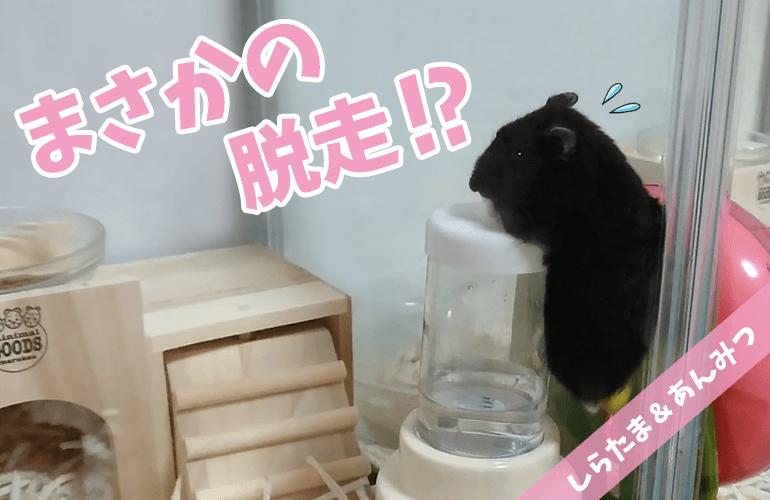 【ハムスター】給水器に登って脱走しようとする必死すぎるあんみつ!