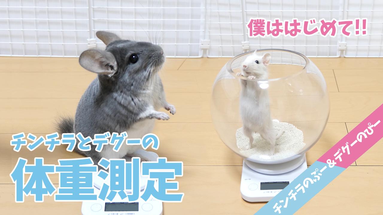 【チンチラ&デグー】ぴーちゃんはじめての体重測定!デグーとチンチラってどれくらい違うの?