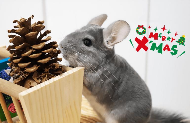 【Merry Christmas】チンチラとデグーと過ごすクリスマスが最高すぎた!