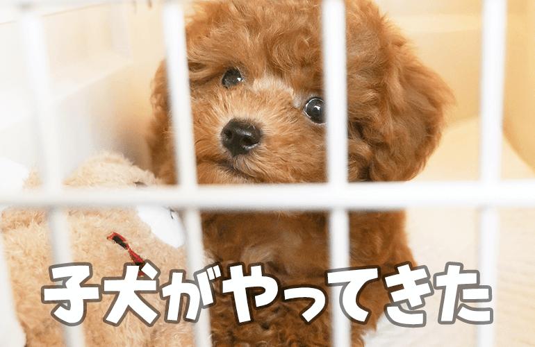 【お迎え初日】生後2ヶ月半のトイプードルの子犬をお迎えしました!
