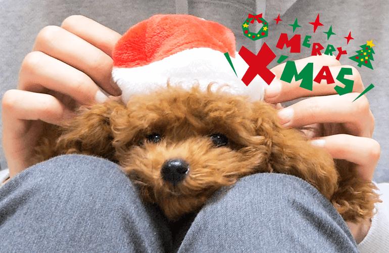 生まれてはじめてのクリスマス!プレゼントに大興奮な子犬が可愛すぎる【トイプードル】