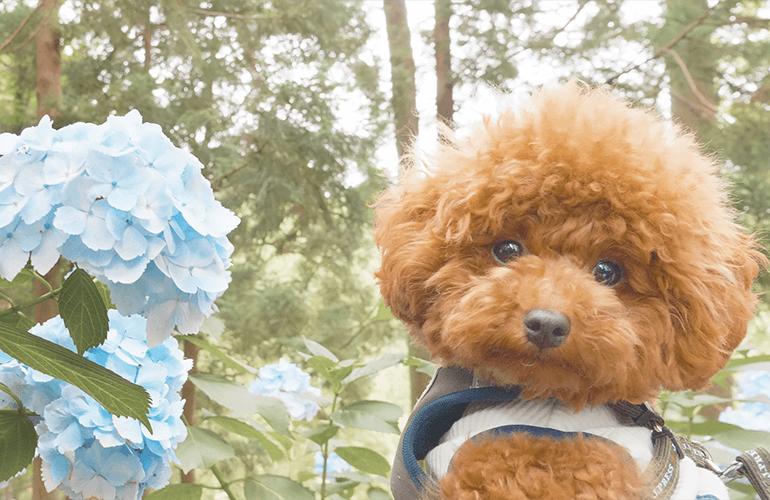 【Vlog】山一面の紫陽花を眺めながら愛犬と一緒に山登り【服部農園あじさい屋敷】