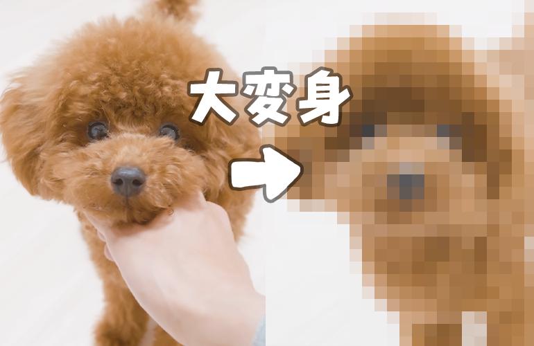 【トリミング】はじめてのテディベアカットで大変身した犬が可愛い過ぎる【トイプードル】