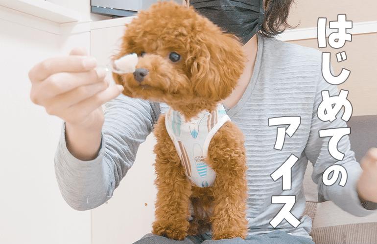 犬と一緒にアイスを食べたら幸せすぎた【トイプードル】