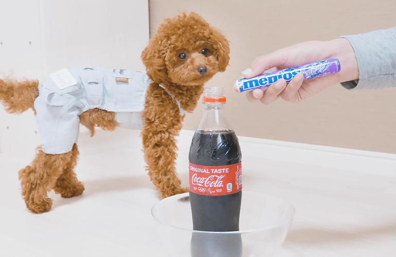 犬が初めてメントスコーラを見るとこうなりますww【トイプードル】