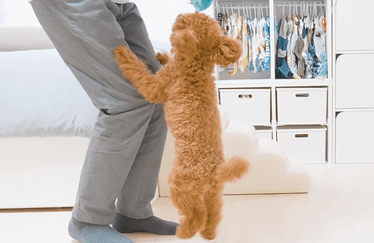 久しぶりに「散歩」と言った時の愛犬の反応が可愛いw【トイプードル】