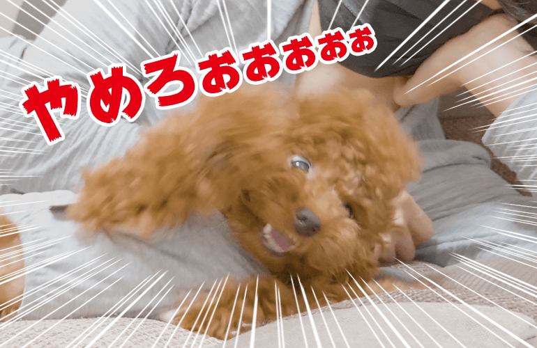 飼い主のオナラの音にブチギレる犬【トイプードル】