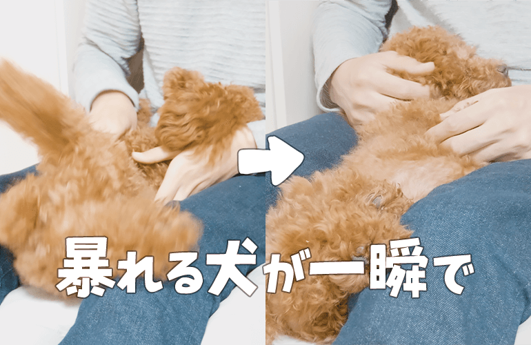 仰向けを嫌がって暴れる犬に落ち着く方法を試してみたら一瞬でおとなしくなった!【トイプードル】