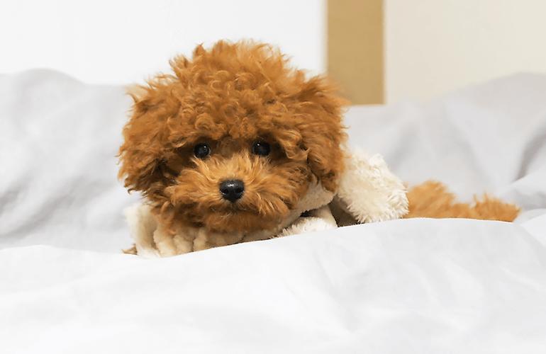 はじめて自分でベッドに上がれるようになってドヤ顔の子犬がこちら【トイプードル】