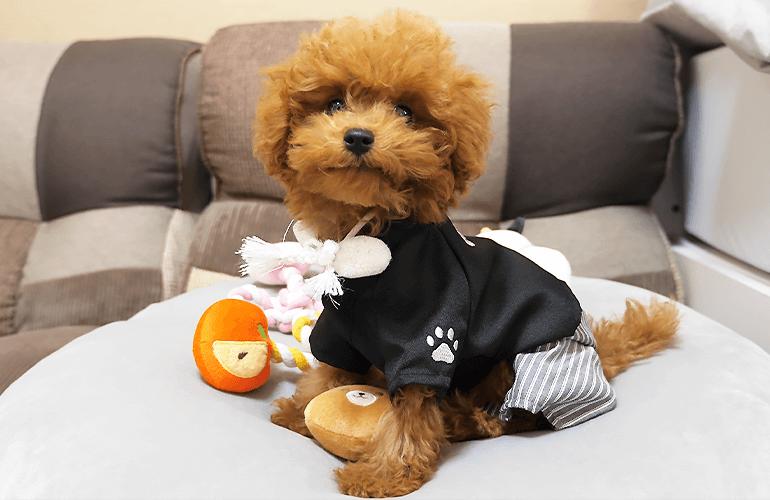【2021年】愛犬におみくじを引いてもらったら結果がリアルすぎたw【トイプードル】