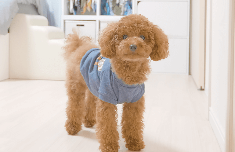 【犬のしつけ】留守番中に吠える犬が全く吠えなくなった方法【トイプードル】