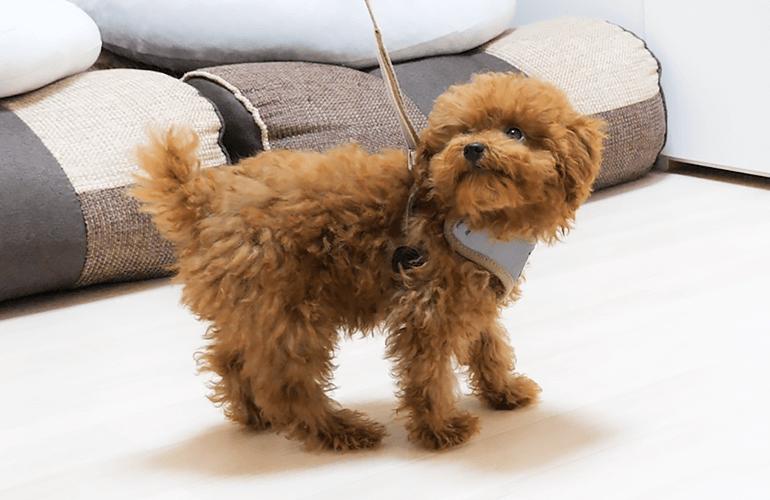 【はじめてのお散歩練習】リードを付けた途端に動かなくなる子犬【トイプードル】