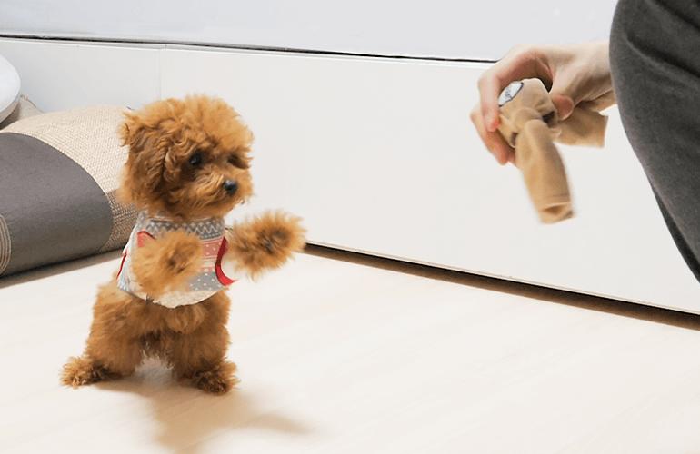犬にしか聞こえない音の鳴るおもちゃを子犬に見せてみたら…【トイプードル】