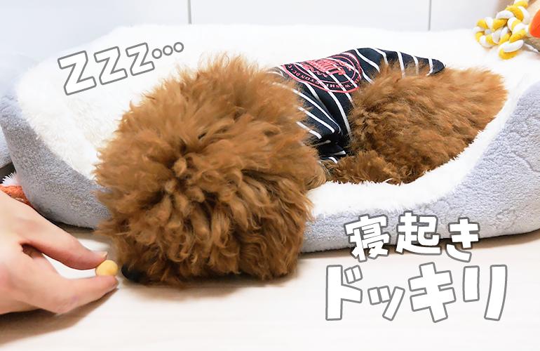 【ドッキリ】寝ている子犬の前に突然おやつを置いてみたら…
