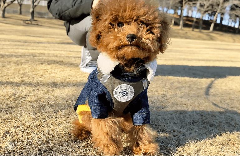 【公園デビュー】生後4ヶ月のトイプードルの子犬がはじめての芝生に大興奮!