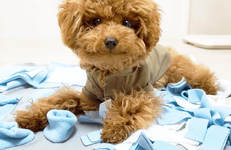 はじめてのノーズワークマットに挑戦!必死におやつを探す子犬が可愛すぎる