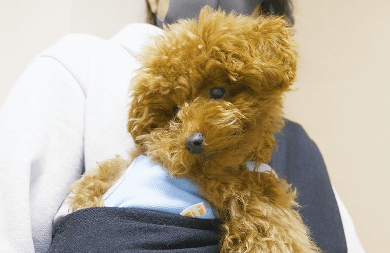 荒ぶる子犬をひさしぶりに抱っこ紐に入れてみた【トイプードル】