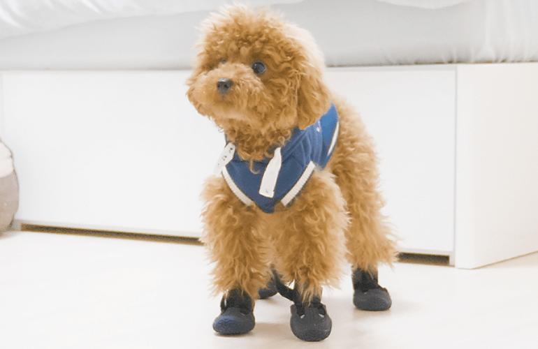 生まれてはじめて靴を履いた犬の反応がこちら【トイプードル】