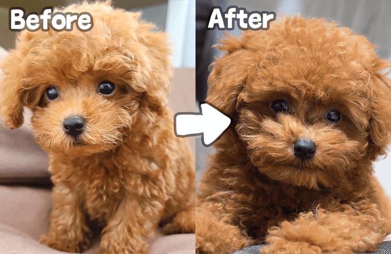 【悲報】生後3ヶ月なのに可愛かった子犬がおじさんになりました…【トイプードル】
