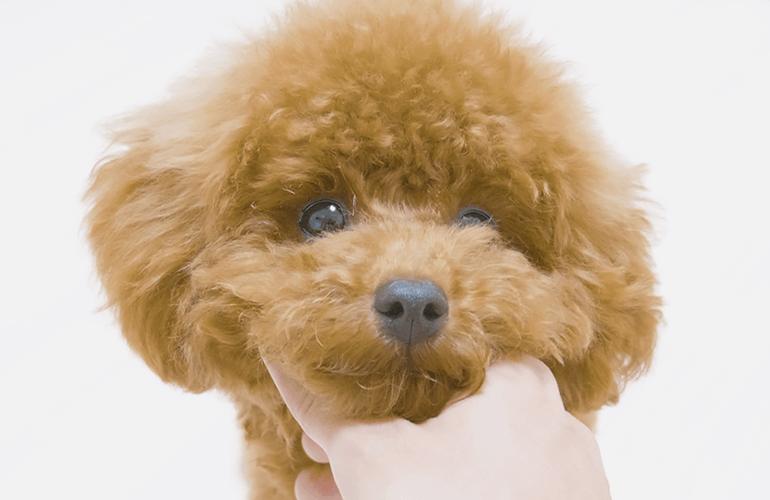 トリミングで過去最高に可愛くなった子犬がこちら【トイプードル】
