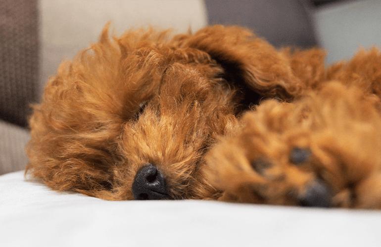 サンタさんが来る前にはしゃぎ過ぎて寝ちゃうトイプードルの子犬が可愛すぎる!