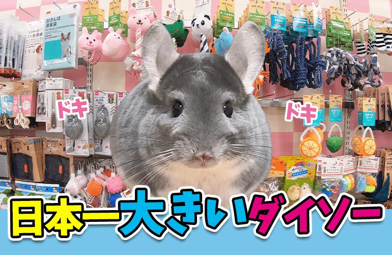 【Vlog】日本一大きいダイソーギガ船橋店のペットコーナーがヤバい!チンチラのぷーちゃんも大喜び!