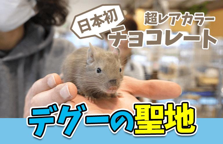 【Vlog】デグーの聖地!フィールドガーデンがまさに楽園!日本初入荷の超レアカラー「チョコレート」も!